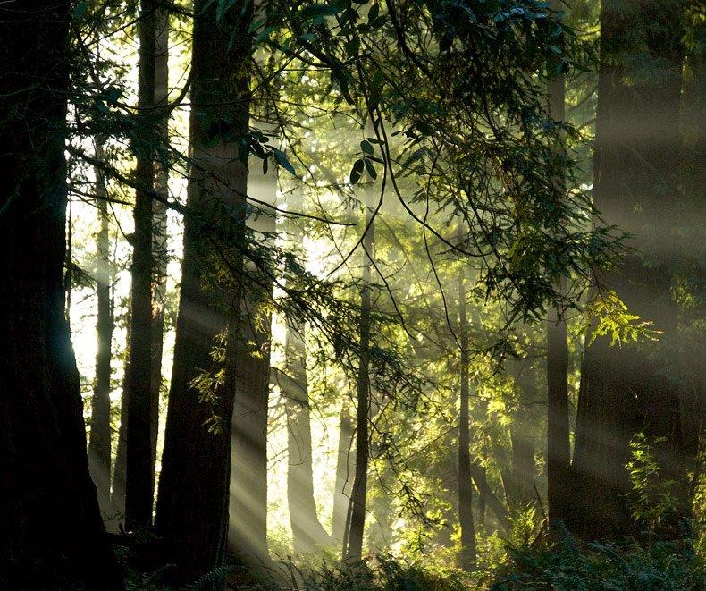Nas florestas de Redwoods a luz do sol é filtrada de forma belíssima através dos troncos, galhos e brumafoto de Ruth Toledo Alschuler