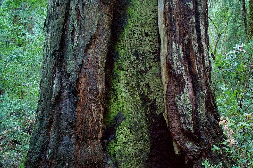Tronco da Redwood