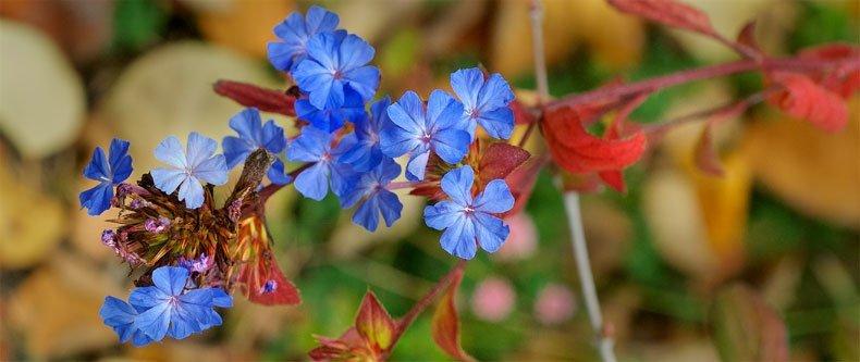 Cerato tem pleno florescimento no final do Verão e começo do Outono. Suas folhas mudam de cor criando um belo contraste e trazendo colorido numa época em que a maioria das plantas parou de florescer