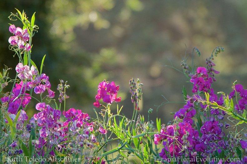 Sweet Pea Floral da Califórnia