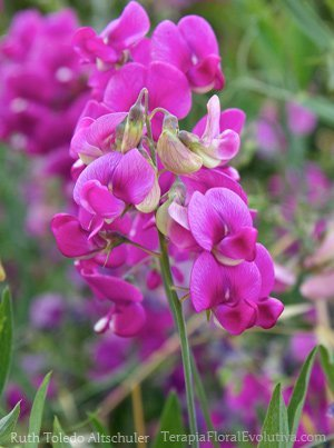 Floral da Sweet Pea: confiar que podemos encontrar identificação, perecimento, o nosso lugar na terra