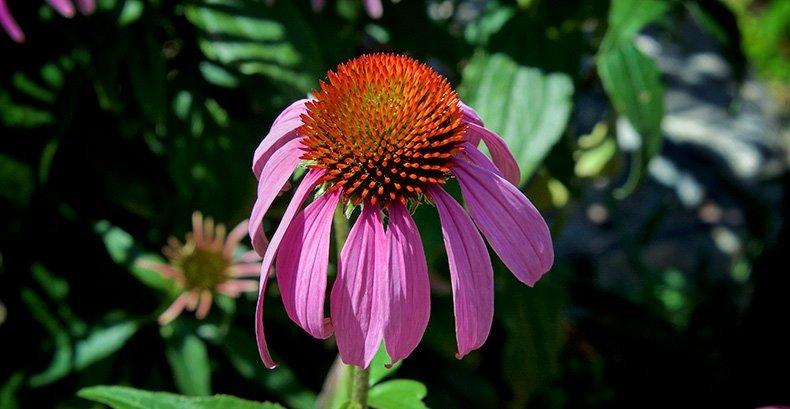 Echinacea floral da Califórnia