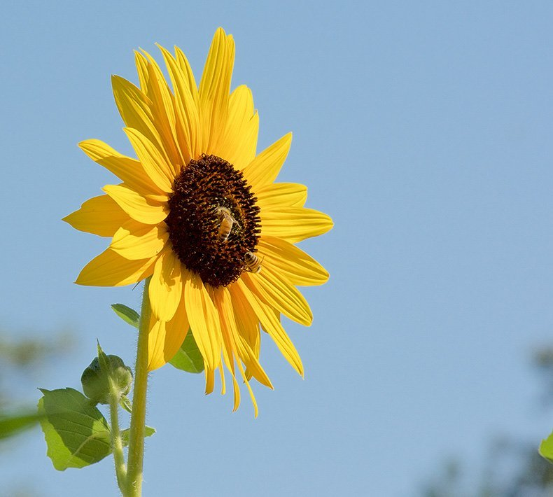 Sunflower floral da Califórnia