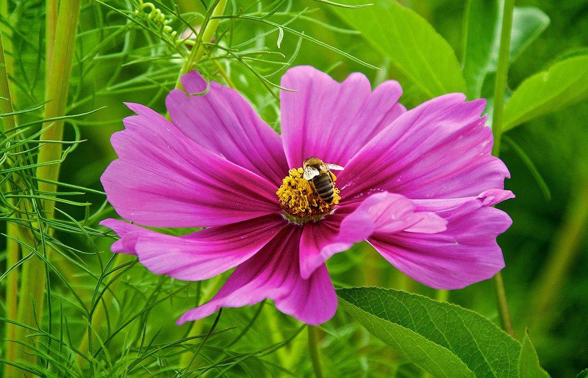 flor da Cosmos com abelha pousada