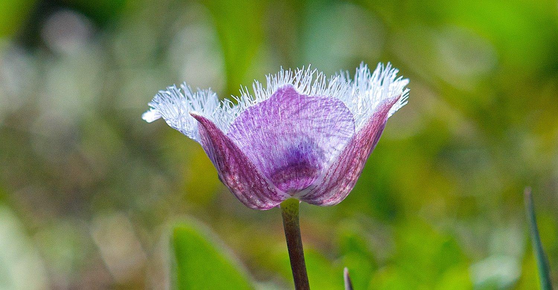 A Star Tulip, que nasce perto do oceano, através de seu floral nos ajuda na sintonia com informações e energia sutis, nos abrindo para perceber sutilezas e escutar a nossa voz interior